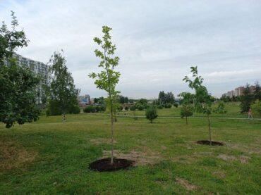 В Кудрово высадили 130 деревьев